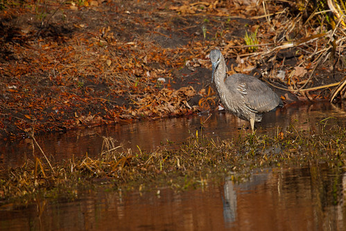 Great Blue Heron Gives Me the Stinkeye, by me