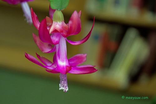 Christmas Cactus at the Librar 02.jpg