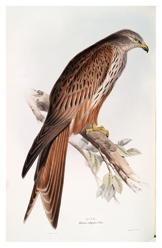 011-Milano real- The birds of Europe Tomo I-1837- John Gould