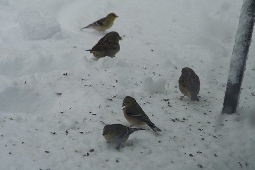sparrows and goldfinches