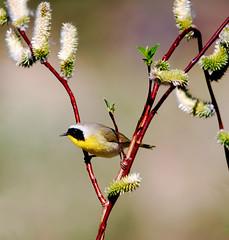Willows and Yellowthroat Warbler (kdee64) Tags: june spring yukon warbler salix commonyellowthroat geothlypistrichas migratorybird nikond60 sigma150500mm macintyrecreek