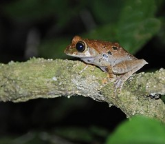 Tree frog (Boophis sp.?), Montagne d'Ambre (Niall Corbet) Tags: tree nationalpark rainforest amphibian frog jungle madagascar anura ambermountain montagnedambre boophis