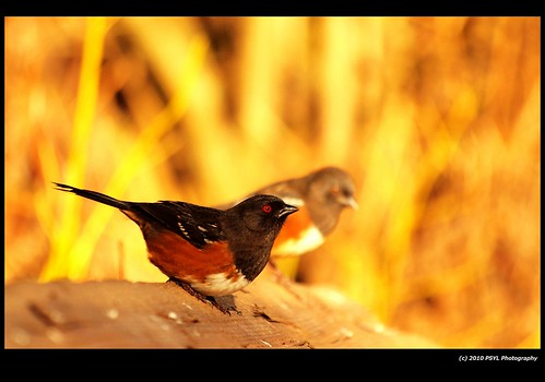 Spotted Towhees (Pipilo maculatus)
