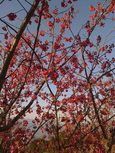 拉拉山的山櫻花已經開花了
