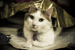 Murka (Eugene Master) Tags: green face animal cat paper fur whiskers calico wrappingpaper murka eyesgreeneyes