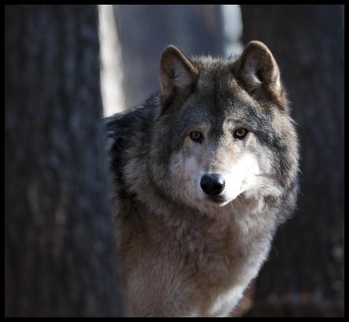 Grey wolf 5 by Jen St. Louis