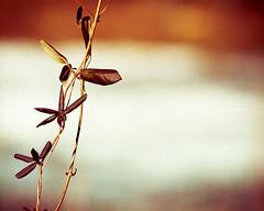 Vine. (CarolynsHope) Tags: orange color texture leaves leaf warm vine minimal simplicity minimalism simple vingette pareerica carolynshope
