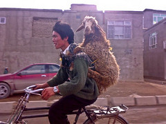 Boy and Sheep (peretzp) Tags: boy afghanistan bike bicycle funny sheep transport riding cycle backpack candidate unusual tandem livestock jalalabad nangahar jalalagood langexp