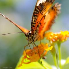 Malay Lacewing {cethosia hypsea hypsina} on lantana. (1davidstella) Tags: nikon d300 tamron 90mm 1davidstella kotakinabalu sabah kipandibutterflypark macro orange sunlight butterflies insect malaylacewing 4tografie cethosiahypseahypsina proboscis eyes antenna face nikonflickraward flickraward blinkagain qualitygold
