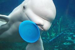 Beluga Whales @ Mystic Aquarium (Dead End Girl) Tags: white water aquarium connecticut ct whale beluga belugawhale mystic deadendgirl louiseholtmorris