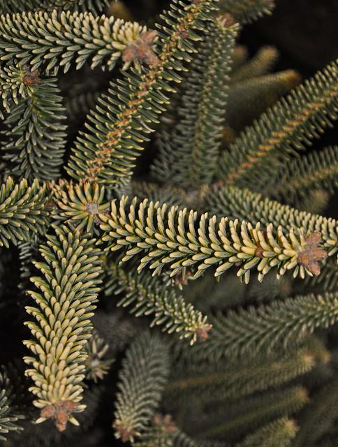 Picea pinsapo 'Aurea'