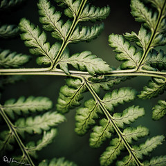 Order of Nature - Fractals V2 (David Hannah) Tags: summer plant fern macro green up leaves forest scotland leaf woods close bokeh veins fractals bonnybridge chlorophyll 40d welcomeuk