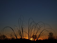 Pampas Sunset (algo) Tags: trees light sunset sun grass garden topf50 topv222 algo pampasgrass sunsetting thechilterns 50f