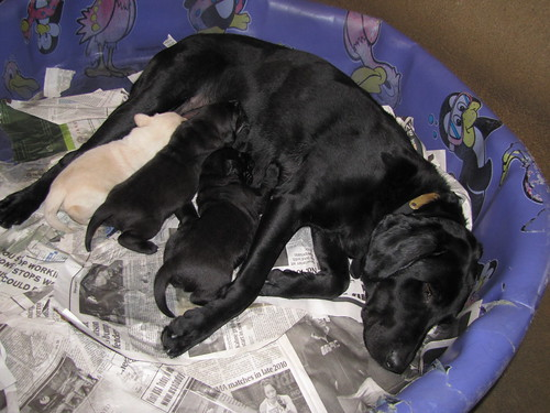 AlbertinexParson_letter F Mom lying in baby pool with pups nursing