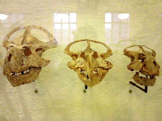 Triceratops Fossil Skulls - Dragon Skulls - American Museum of Natural History