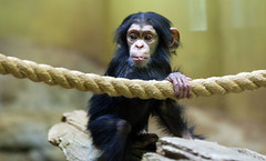 chimpanzee (floridapfe) Tags: baby cute animal zoo nikon korea ape chimpanzee everland floridapfe