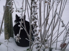 Noir sur blanc (blogspfastatt (+5.000.000 views)) Tags: pet beauty cat nice chat gato felini katze kot pfastatt blogspfastatt