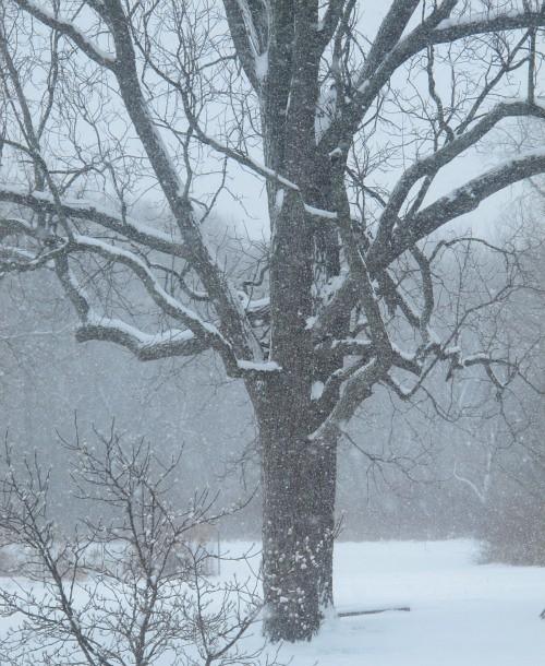 snowy walnuts