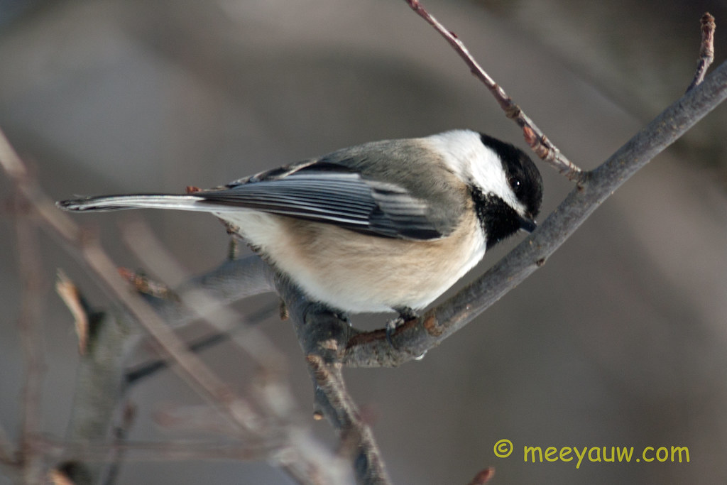 Black-capped chickadee   03.jpg