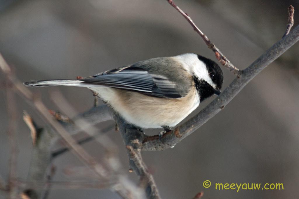 Black-capped chickadee   03.jpg