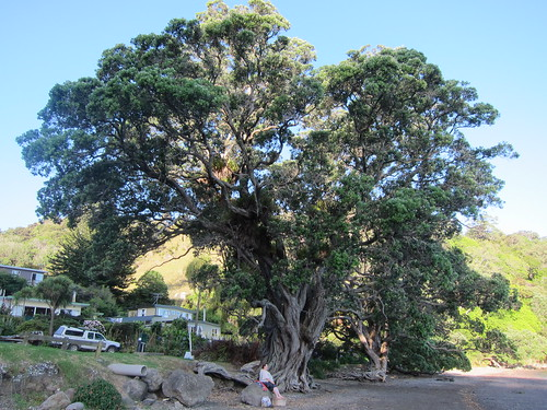 Pōhutukawa at Little Munro Bay