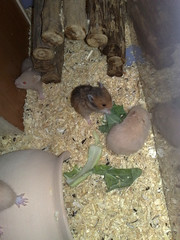 22-1-2011 (H.A.M.S) Tags: pet hamster kuwait hamsters hams    alhusseinalabbasi