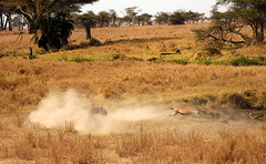 Demonio (G.Caballe) Tags: animal muerte leon animales diablo ataque gacela polvo