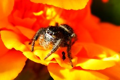 Old Four Eyes (starmist1) Tags: arachnid spider oldfoureyes snacking entomology insect marigold vegetablegarden raisedbeds