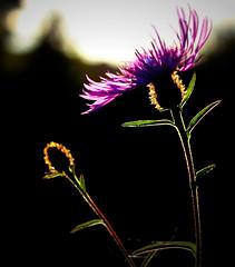 The last rays (Z) Tags: flower sunset purple october fleur backlight blume wildflower flor fiore kwiat blodyn nature