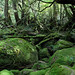 "Yakushima forest • <a style=""font-size:0.8em;"" href=""https://www.flickr.com/photos/40181681@N02/5207912227/"" target=""_blank"">View on Flickr</a>"