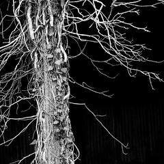 Barn and ivy (tina negus) Tags: barn blackwhite ivy lincolnshire fen fens billingborough