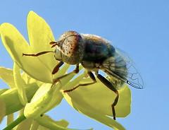 Fly (TARIQ HAMEED SULEMANI) Tags: pakistan wild nature colors lumix fly panasonic punjab tariq sulemani jahanian concoedians
