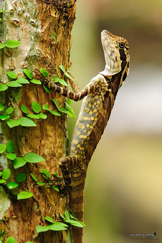 Gonocephalus grandis 5223584014_568c6ce2a5