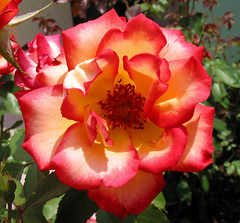 Rose01X1 (whaas987) Tags: flowers roses qualitygold
