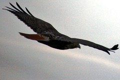 redtail in flight 3