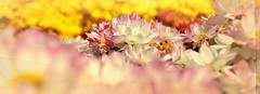 flowers out of focus (zbigphotography (1M+ views)) Tags: flowers colors nikon dof saudi arabia riyadh dwcffcolorful rememberthatmomentlevel1