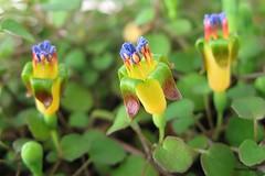 Fuchsia procumbens (pennyeast) Tags: flower botanical fuchsia capetown papaalphaecho