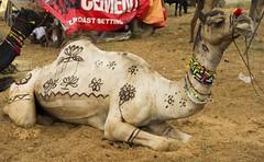 84 Camel fair. Pushkar. Rajasthan. India (courregesg) Tags: life india social folklore fair camel tradition anthropologie ethnic pushkar foire rajasthan inde dromadaire chameau ethnologie