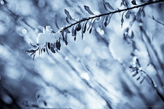 Iced bokeh - Frosty mornings II (Marc Benslahdine) Tags: macro jardin bleu explore neige frontpage glace givre lightroom glacial fraicheur canonef100mmf28macrousm canoneos50d marcopix marcbenslahdine matinsgivrs marcopixcom