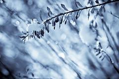 Iced bokeh - Frosty mornings II (Marc Benslahdine) Tags: macro jardin bleu explore neige frontpage glace givre lightroom glacial fraicheur canonef100mmf28macrousm canoneos50d marcopix ©marcbenslahdine matinsgivrés marcopixcom