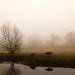 misty grazing