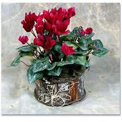 Vaso de mini Ciclamem em cachepot rstico (a_megaflores) Tags: flores vaso arranjos rstico