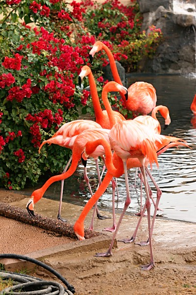 Flamingos at the Wildlife World Zoo