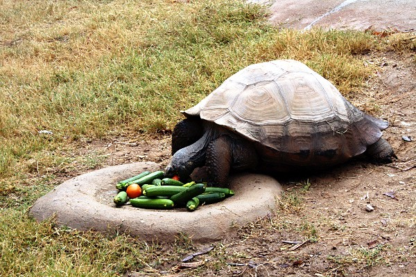 Galapagos Tortoise at the Wildlife World Zoo