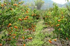 Mandarin Oranges (Part 2)