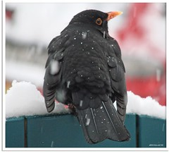 Amselmann Kurti und das Vogelhäuschen - Blackbird Kurti and the bird box (5)