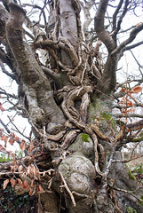 Mysterious Tree (Raphooey) Tags: uk trees winter england tree leaves dead leaf moss branch witch branches magic devon twig gb mysterious trunk mystical witches algae thorn magical twigs twisted beech regis sidmouth gnarled salcombe bole writhe writhing entwinned entwinning
