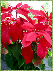 Potted Euphorbia pulcherrima (Poinsettia, Christmas Flower/Star) at a local nursery