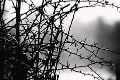 Thorn Bush (Matthew-King) Tags: white black monochrome shop photoshop geotagged photo bush nikon branch d yorkshire north location tagged 40 5000 nikkor dslr favourite thorn hawthorne geo malton edit fav40 ryedale d5000