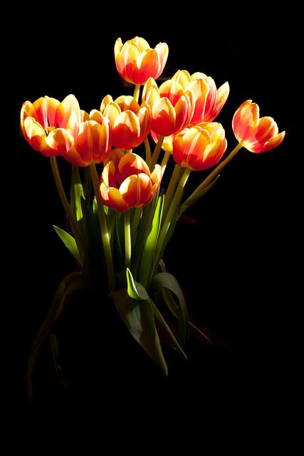 Backlit Tulips
